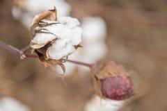 Cotton Plant Royalty Free Stock Photos