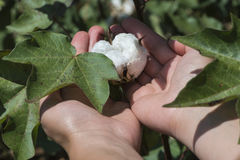Cotton plant close up Royalty Free Stock Photos