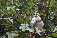 Cotton plant close up Royalty Free Stock Photography