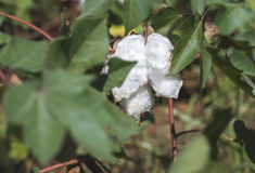 Cotton plant close up Stock Photography