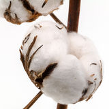 Cotton Plant Stock Image