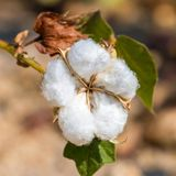 Cotton plant closeup Royalty Free Stock Photography