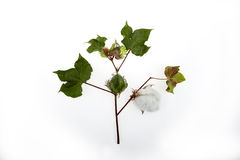 Cotton plant closeup in studio stock photography