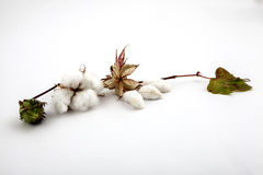 Cotton plant closeup in studio. Cotton plant close up in studio on white background Stock Photography