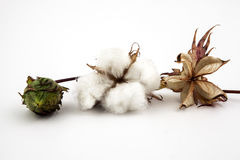 Cotton plant closeup in studio Stock Photo