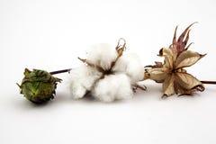 Cotton plant closeup in studio. Cotton plant close up in studio on white background Stock Photo