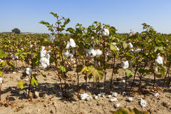 Cotton plant closeup under sunlight Stock Photos