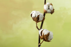 Cotton plant with copy space Royalty Free Stock Photography