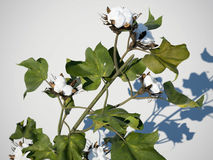 Cotton plant 3d illustration Royalty Free Stock Photos