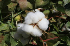 Cotton plant/detail Stock Images