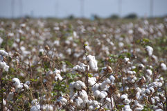 Cotton-plant field. In Uzbekistan Royalty Free Stock Photography
