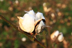 Cotton plant Stock Images