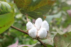 Cotton plant. In a field stock photography