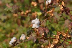 Cotton Plant and  Field. Cotton (Gossypium arboreum) Plant, Capsule in the Field. India is the second largest producer/exporter of cotton in the world Royalty Free Stock Image