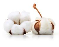 Free Cotton Plant Flower Stock Photos - 51198163
