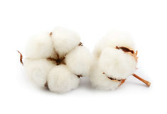 Free Cotton Plant Flower Royalty Free Stock Image - 92224316