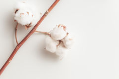 Cotton plant flower branch on white background. Cotton plant flower branch on grey background Royalty Free Stock Photography