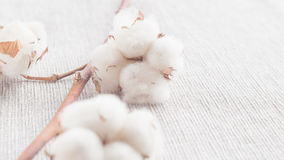 Cotton plant flower branch on white background. Cotton plant flower branch on grey fabric surface Royalty Free Stock Photo