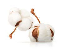 Free Cotton Plant Flower Isolated Stock Photo - 97719790