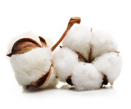 Cotton plant flower Stock Image