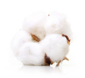 Cotton plant flower Stock Images