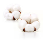 Cotton plant flower Royalty Free Stock Image