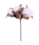 Cotton plant flower isolated on a white background. Cotton plant flower isolated on white background Royalty Free Stock Image