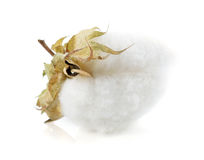 Cotton plant flower. Isolated on white background royalty free stock photo