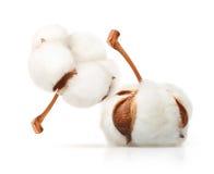 Cotton plant flower isolated. On white background Stock Photo