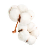 Cotton plant flower isolated Royalty Free Stock Image