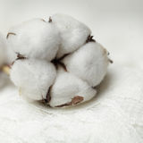 Cotton plant - flower, macro Royalty Free Stock Images