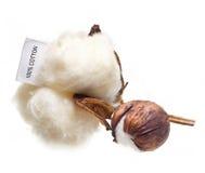 Cotton plant flower Stock Image