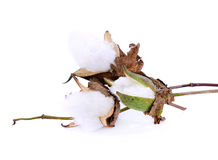 Cotton plant flower on white background Stock Image