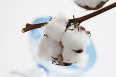 Cotton plant (Gossypium) Royalty Free Stock Photos