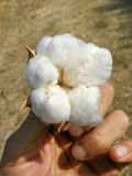 The cotton plant in hand Royalty Free Stock Image