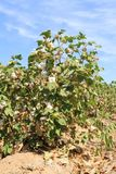 Cotton plant at irrigation ditch. A cotton field in the desert of Arizona: some bolls, some opening and open capsules on the shrubs; the dry irrigation ditch in Royalty Free Stock Photos