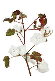Cotton plant. Isolated on white Stock Images