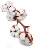 Cotton plant. Cotton isolated on white background Royalty Free Stock Photography