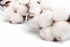 Cotton plant isolated on white background Stock Image