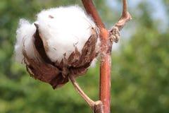 Cotton plant with  Macro image Royalty Free Stock Photo