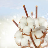 Cotton plant over white background Royalty Free Stock Image