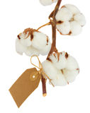 Cotton plant over white background Stock Photography