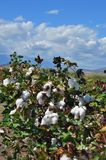 Cotton plant ready for harvest. Greece royalty free stock photos