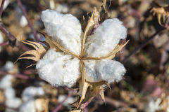 Cotton Plant Ready to Harvest Royalty Free Stock Photography