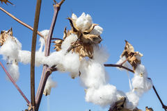 Cotton Plant Ready to Harvest Stock Images