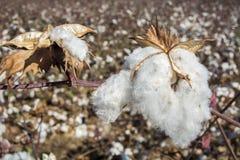 Cotton Plant Ready to Harvest Stock Photo