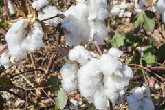 Cotton Plant Ready to Harvest Stock Photography