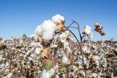 Cotton Plant Ready to Harvest Royalty Free Stock Photos