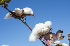 Cotton Plant Ready to Harvest Royalty Free Stock Photo