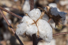 Cotton Plant Ready to Harvest Stock Image